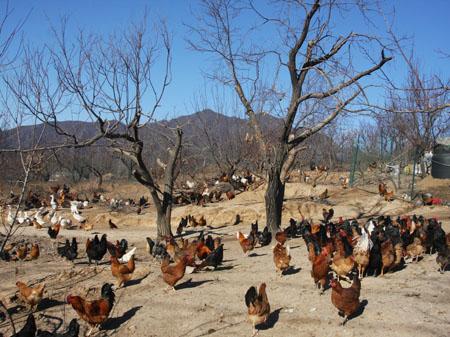 山林 柴鸡